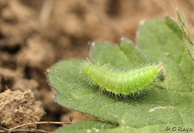 Meadow Brown Caterpillar