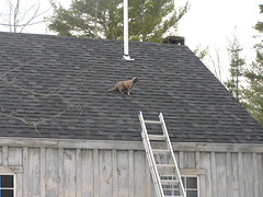 Cat on a cold shingled roof.