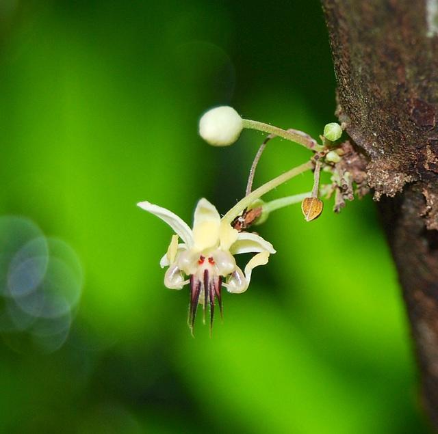 Fleur de Cabosse