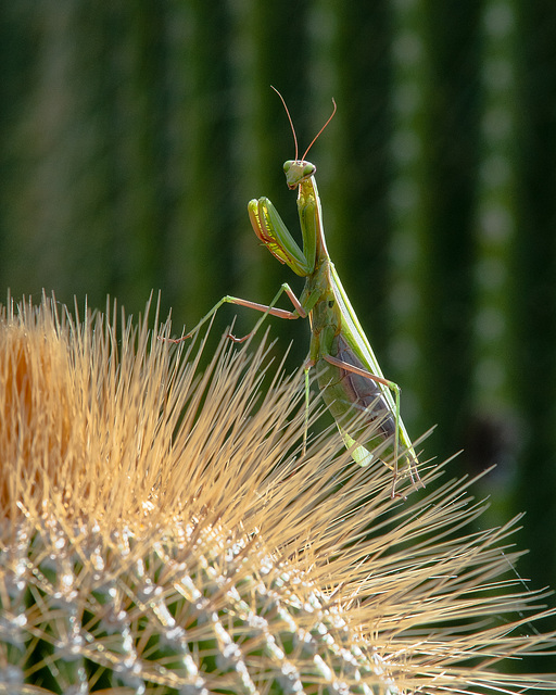 Gottesanbeterin, Mantis - 2013-10-17-_DSC9208