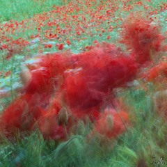 Poppies Dancing Frenzy