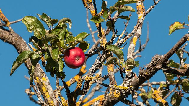 Roter Apfel an einem alten Baum - 2013-10-16-_DSC9159