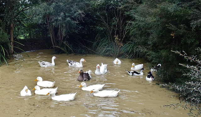 happy ducks and geese