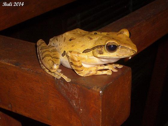 26 Polypedates leucomystax (Common Tree Frog)