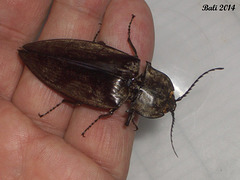 48 Oxynopterus auduoin (Giant Click Beetle)