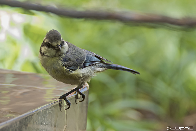 Herrerillo canario - Cyanistes teneriffae hedwigii (Juvenil)