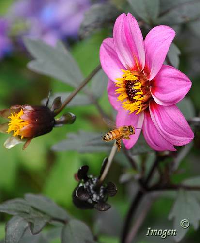 bee on pink dahlia higher contrast