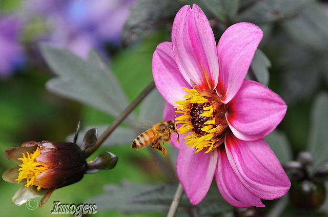 Bee Aerobatics...