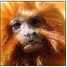 Golden Lion Tamarin 002