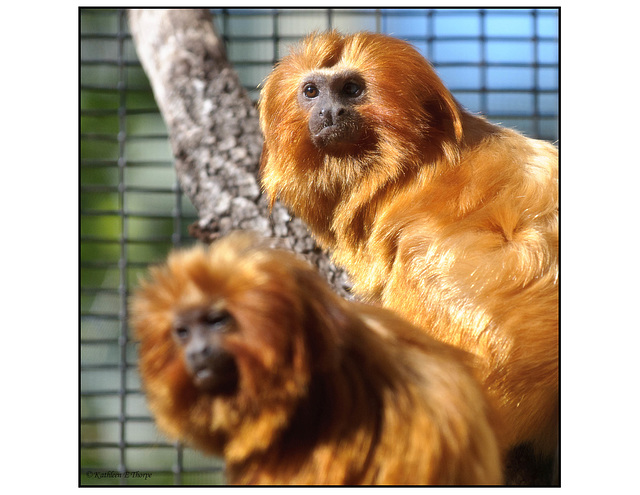 Golden Lion Tamarin Duo