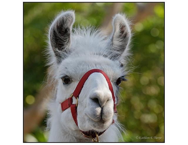 Angie the Llama 001