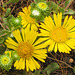 Oregon Gumweed (p7071011)