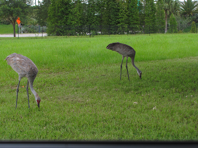 2011 Sandhill Crane and youngster