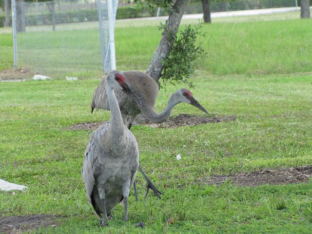 2011 Sand Hill Cranes - parent & juvenile