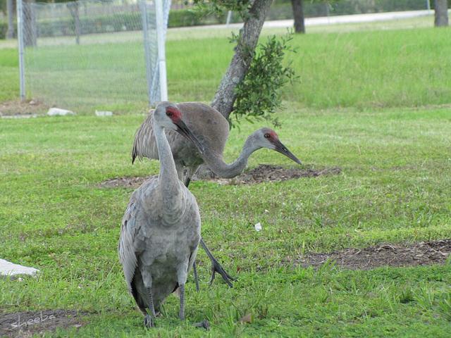 Sandhill Cranes - parent & juvenile ...... please read the link to Kentucky4Sandhillcranes !