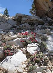 Ancient Bristlecone Pine 390x