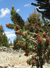 Ancient Bristlecone Pine 395x