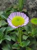 Seaside Daisy (p5181065)