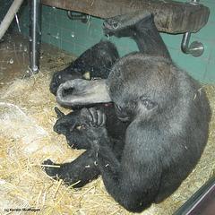 Fußpflege bei Gorillas (Wilhelma)