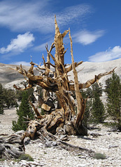 Ancient Bristlecone Pine 394x