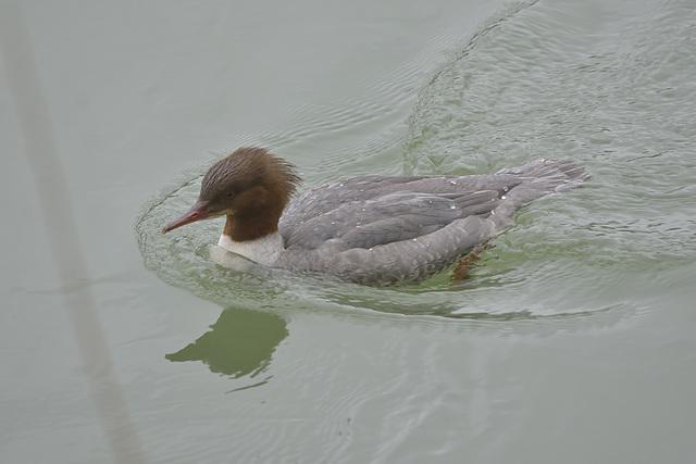 BESANCON: Un canard harle bièvre (Mergus merganser).