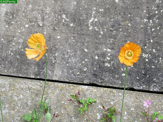 05 mini poppies