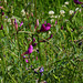 Vicia sativa subsp sagitalis-003