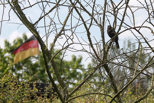 20140518 3316VRAw [D~OB] Amsel [Schwarzdrossel] (Turdus merula), Aue, Oberhausen