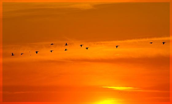 Zugvögel.....  am Ochsenwerder Norderdeich