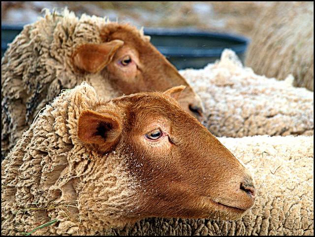 good day two ewe