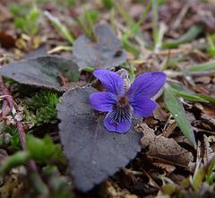 Sweet Violet with rain drop tear.