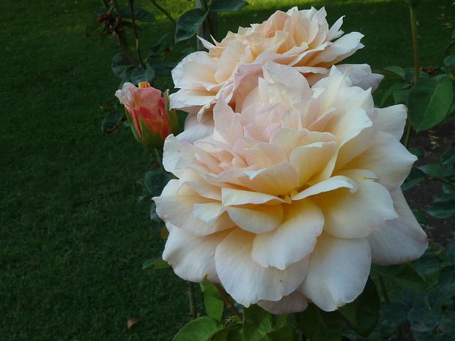 Rosas emergiendo