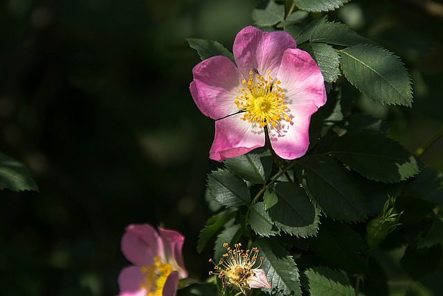 20140518 3276VRAw [D~OB] Rose, Aue, Oberhausen
