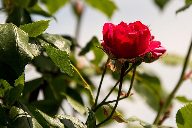 20140518 3274VRAw [D~OB] Rose, Aue, Oberhausen
