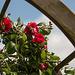 20140518 3273VRAw [D~OB] Rose, Aue, Oberhausen