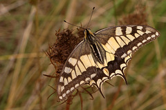 Machaon, grand porte-queue = Papilio machaon L.
