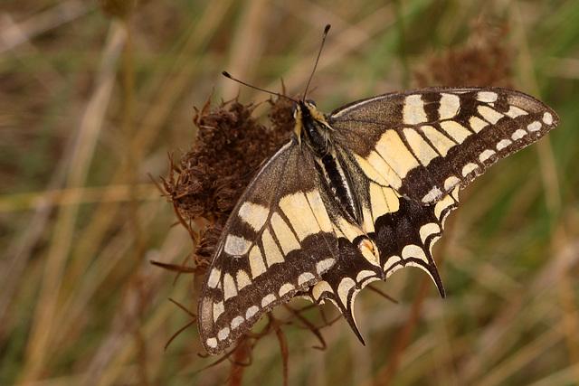 Machaon, grand porte-queue = Papilio machaon L.