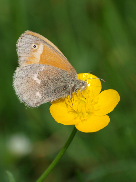 bitty brown butterfly buzzes buttercup