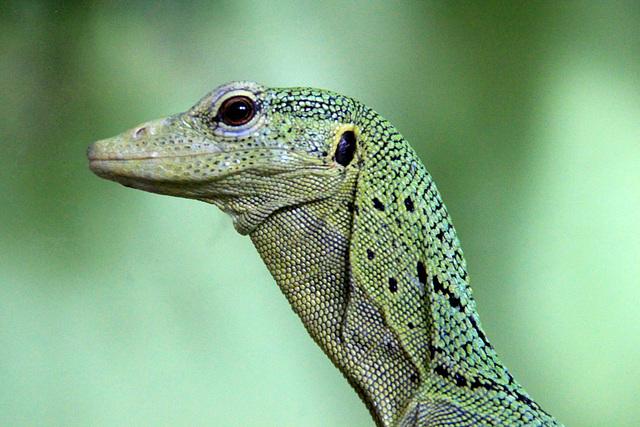 Varanus prasinus = varan émeraude (Nouvelle Guinée)