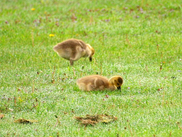 dew and goslings