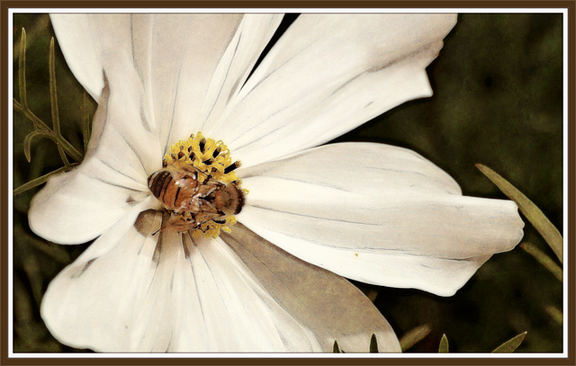 bee in a white flower