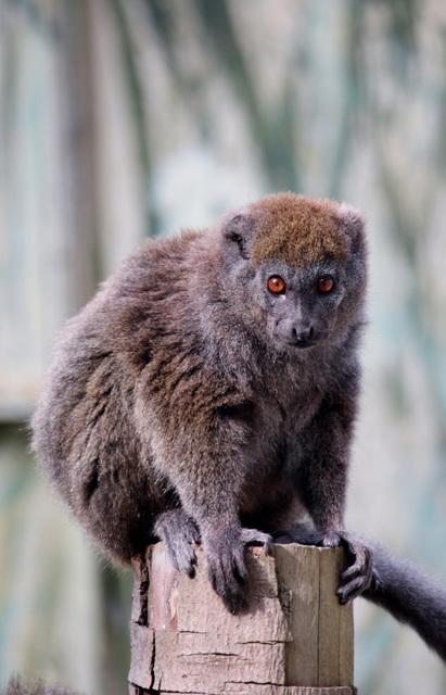 Alaotran gentle lemur.
