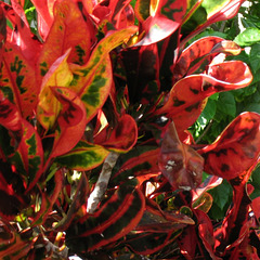 The colors of Crotons ..