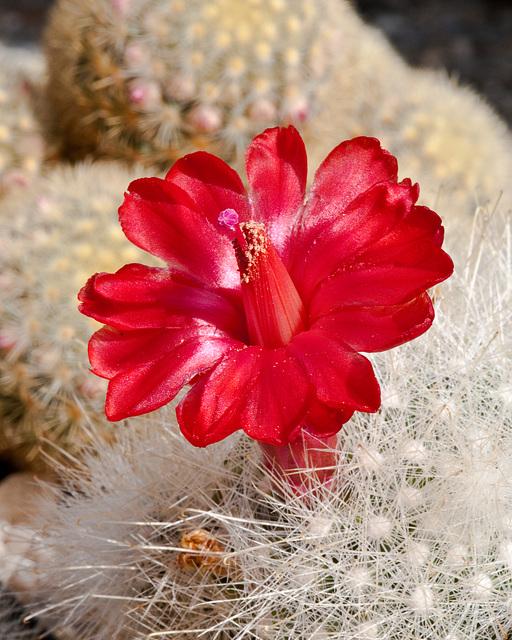 Mammillaria senilis - _DSC8876