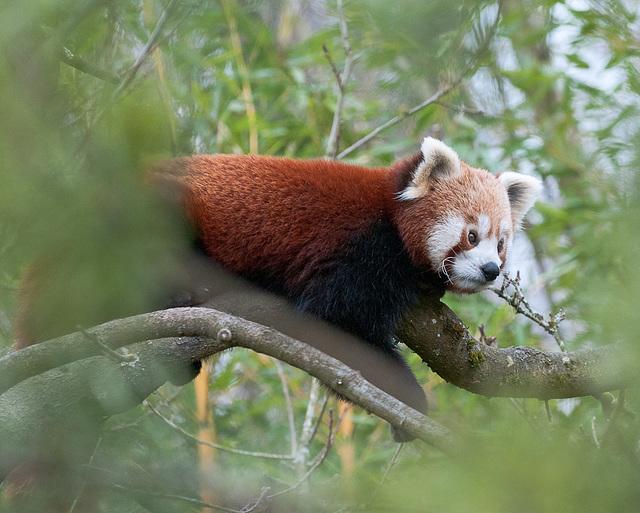 Kleiner Panda - 2011-03-12-_DSC5819
