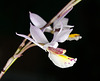 Barkeria-Hybride 'Marsh Melody' - 2011-02-25-_DSC5670