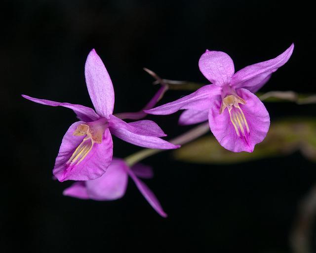 Barkeria chinensis (?!) - 2011-02-25-_DSC5657
