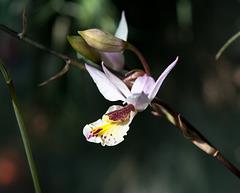 Barkeria-Hybride 'Marsh Melody' - 2011-02-09-_DSC5473