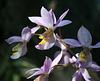 Barkeria spec. / Hybride - 2011-02-09-_DSC5504
