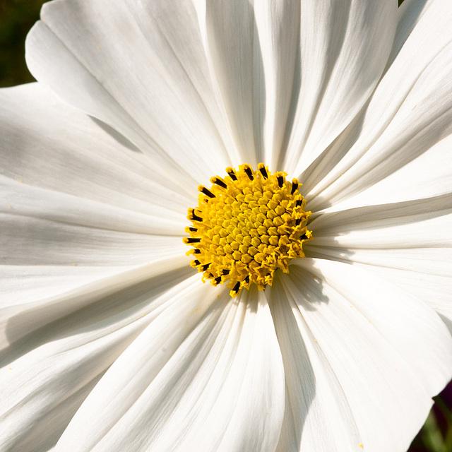 Cosmea spec. / cv. - 2009-10-07-_DSC7434